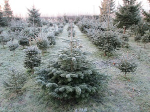 West Midlands Christmas Tree Farms Choose And Cut Christmas Trees Tree Lots With Pre Cut Trees Stands Sleigh Rides Hay Rides And Related Winter Events And Fun