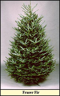 canaan fir photo similar to the other eastern firs - British Christmas Tree Decorations