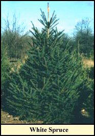 spruce - What Christmas Tree Smells The Best