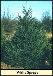 spruce - Best Christmas Tree Type